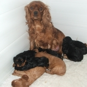 Posy with her puppies aged 2 weeks, Clara is one of the b/t!