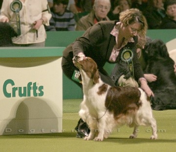 Welsh Springer Spaniel Puppies